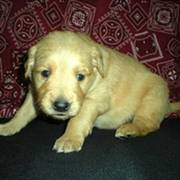 'Gus' Golden Retriever puppy