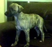 KC Registered Whippet Puppy For Sale